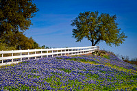 Live Oak and Bluebonnets