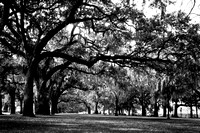 Spanish Moss on Live Oaks